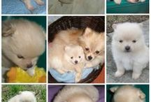 *Precious Poms...  Love Them All... / This is a new board.  ****  My husband and I have a love for Pomeranians, we have 5 the most we have ever had at one time.  Love them dearly, some were rescued.  We will always have a Pom or two...   / by ~Diana Foster