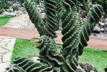 Kaktus&Suckulent