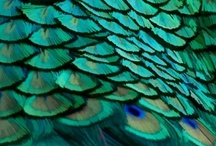 peacock / by Krista Duff Tuuk