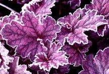 Heucheras / by Cindy Hollett