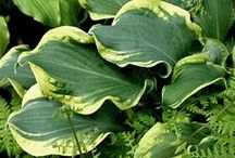 Hosta / by Cindy Hollett