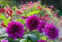 Dahlias / by Cindy Hollett