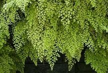 Greenery / A variety of types of greenery to use within floral arrangements or as their own