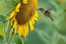 sunflowers - wow....
