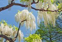 wisteria - dream on