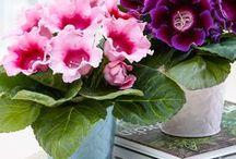 gloxinie - elegant flowers