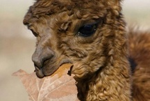 Alpacas make me happy! / They are docile and shy. They hum. They have the softest fleece imaginable. And they are the prettiest animals. A+ for alpacas! / by Amy Janssen