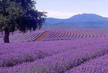 Lavanda / I like lavender fields....