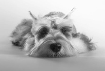 / mini schnauzer / Community pinboard for mini schnauzer lovers. Add your friends or holler twitter.com/pixmike to collaborate. / by Michael Fallarme