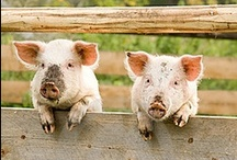 Pigs / Pig inspiration for Project Isabella Graphic Workshop for developing our clipart, graphics to buy individually, zipped or as craftartist digikit #craftartist / by Project Isabella