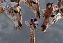 Giraffe <3 / My love or obesssion with GIRAFFES!  / by Tanya OneNonly Drew