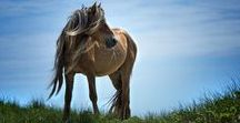 """Beautiful Horses / """"Bread may feed my body, but my horse feeds my soul!""""  Love horses - inspiration for photographing these beauties. A horse in the wild has such energy. Lifelong dream to own a horse.  Working to make this happen!"""