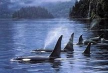 Whales / Whales make me giddy!  I love photographing them!  Inspiration for pursuing an alwasy dream of being on the water waiting for a humpback or orca to surface!  Addicted to the Pacific North West!
