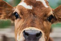 Brits cows