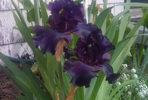 Sweet Iris.. / Love to have my whole yard in Iris's / by Vickie