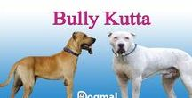 Bully kutta / The Bully Kutta is a dog breed that originates from the erstwhile Punjab region and It is a native of India and Pakistan. It's an extremely aggressive mastiff dog. The Bully Kutta is a rare dog breed from Southern India.