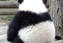 animal / 판다 곰 시바견을 좋아하기도 하지만 결론 판다가 제일 귀여움
