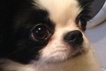 dog, Пульхерия,моя собачка / СОБАКА