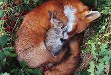 Animaux / Photographies d'animaux : renard, ratons laveurs, hérissons...