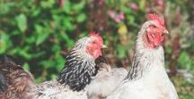Chickens & Poultry / How to care for your backyard flock of chickens and other poultry. Coop ideas, feeding and all around chicken love.