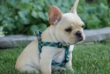 Fabulous Frenchies / French Bulldogs / by Marty Vernon