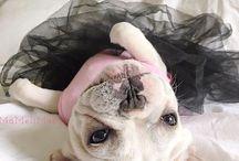 Frans bulldog / De bazin in huis.