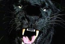 jaguar & animals