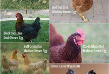 Chickens / by Amanda Hamblen