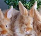 Angora Rabbits / Angora Rabbits the only rabbits you can use the wool they shed for making beautiful Yarn with. FYI Angora Rabbit Yarn is 7 times warmer than wool and softer than cashmere. :-)