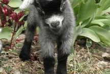 Goats / Baby Goats, Pygmy goats, Benefits of Goats on the Homestead.