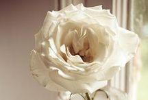 White Roses / Beautiful White and Cream Roses