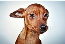 Chihuahua Terrier Mix - Dog Love