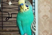 Amor / Papagaje