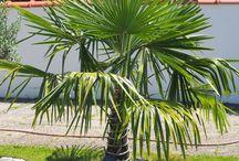 Exoten: chinesische Hanfpalme / freilandexoten.de: chinesische Hanfpalmen (Trachycarpus Fortunei) - ganzjährig ausgepflanzt im Münchner Südosten