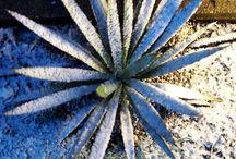 Exoten: Kerzen-Palmlilie / freilandexoten.de: Kerzen-Palmlilie (Yucca gloriosa) - ganzjährig ausgepflanzt im Münchner Südosten