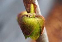 Exoten: Indianerbanane / freilandexoten.de: Indianerbanane (Asimina triloba) - ganzjährig ausgepflanzt im Münchner Südosten