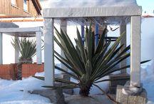 Exoten: Palmlilie / Winterschutz / freilandexoten.de: Palmlilie (Yucca) - ganzjährig ausgepflanzt im Münchner Südosten -> Winterschutz