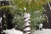 Exoten im Schnee / exotengaertner.de:  Exoten - ganzjährig ausgepflanzt im Münchner Südosten -> Schnee