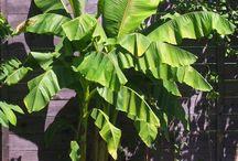 Exoten: japanische Faserbanane / freilandexoten.de: japanische Faserbanane (Musa basjoo) - ganzjährig ausgepflanzt im Münchner Südosten