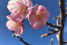河津桜 / 今が満開!三浦海岸の河津桜。 http://kamakuraland.seesaa.net/