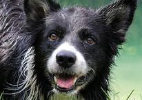 Border Collie Rescue Foundation / Clancy's Dream provides rescue, medical, rehabilitation and adoption assistance for neglected, abused or abandon Border Collies. Locally, we also assist families who are unable to afford medical help to care for a sick or injured Border Collie.