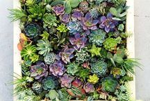 Succulents / Gardening ideas and inspiration  / by Tammy Riel