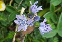 Flores de Asturias