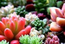 Succulents in Wedding Decor / LOVE the ever so lovely trend of incorporating Succulents in a wedding or any celebration. They are gorgeous!