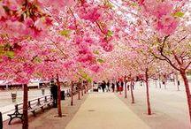 Cherry Blossoms / Cherry Blossoms are so pretty in the Spring!