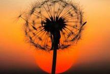 Nature - dandelion -