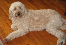 Glorious Goldendoodle / Scully puts the LOVE in Scully Love Promo!  Scully, my now 7 yr. old Goldendoodle is the light of my life, closely followed by her brother Mulder!  / by Christine Bode
