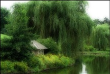Weeping Willows / My favourite tree.