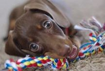 Dachshunds are the cutest of all! / by Victoria Danilova