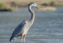 Herons & Egrets / Love them! / by Dee Anne Burnett